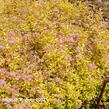 Tavolník japonský 'Golden Princess' - Spiraea japonica 'Golden Princess'