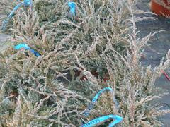 Jalovec šupinatý 'Blue Carpet' - Juniperus squamata 'Blue Carpet'