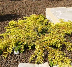 Jalovec obecný 'Depressa Aurea' - Juniperus communis 'Depressa Aurea'