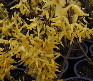 Zlatice prostřední 'Spectabilis' - Forsythia intermedia 'Spectabilis'