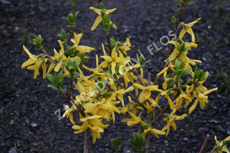 Zlatice prostřední 'Lynwood Gold' - Forsythia intermedia 'Lynwood Gold'