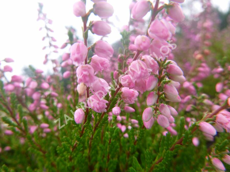 Vřes obecný 'Red Favorite' - Calluna vulgaris 'Red Favorite'