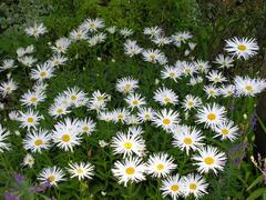 Kopretina velkokvětá 'Aglaia' - Leucanthemum x superbum 'Aglaia'