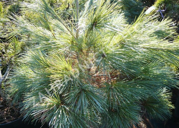 Borovice vejmutovka 'Blue Shag' - Pinus strobus 'Blue Shag'