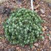 Smrk sivý 'Blue Planet' - Picea glauca 'Blue Planet'