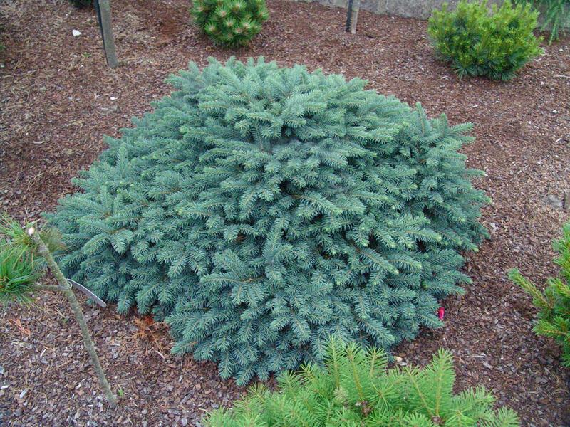 Smrk ztepilý 'Waldbrund' - Picea abies 'Waldbrund'