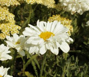 Kopretina největší 'Victorian Secret' - Leucanthemum maximum 'Victorian Secret'