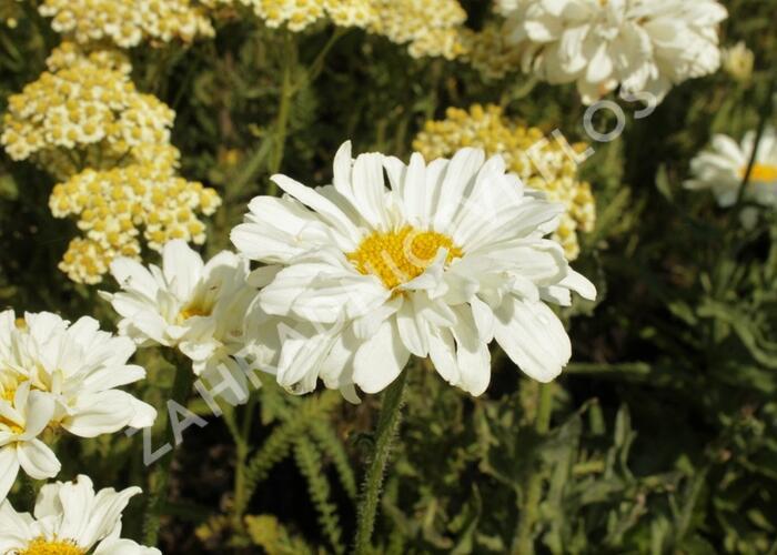 Kopretina největší 'Victorian Secret' - Leucanthemum maximum 'Victorian Secret'