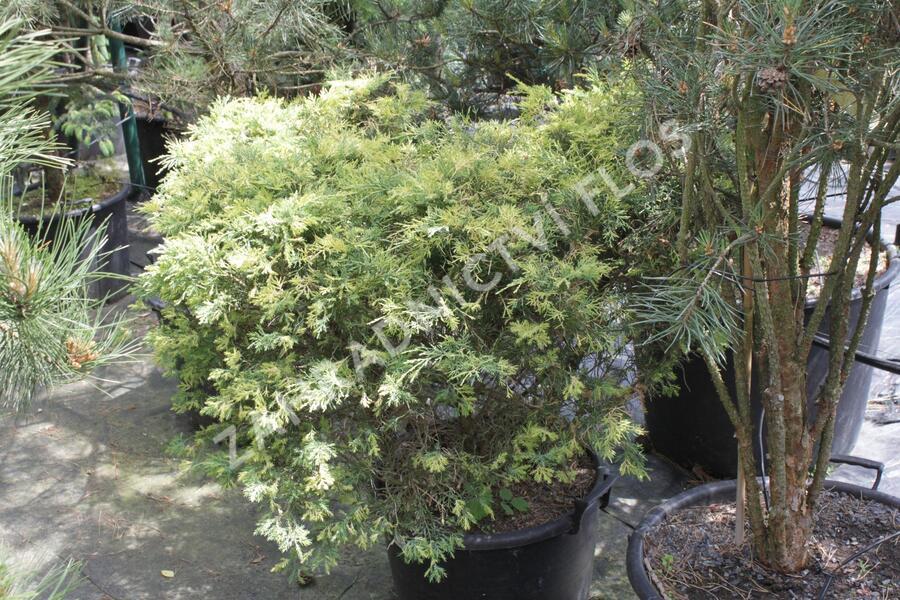 Jalovec čínský 'Aureovariegata' - Juniperus chinensis 'Aureovariegata'