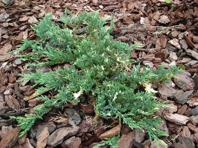 Jalovec polehlý 'Villa Maria' - Juniperus horizontalis 'Villa Maria'