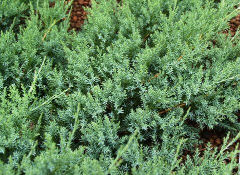 Jalovec polehlý 'Agnieszka' - Juniperus horizontalis 'Agnieszka'
