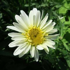 Kopretina největší 'Real Glory' - Leucanthemum maximum 'Real Glory'