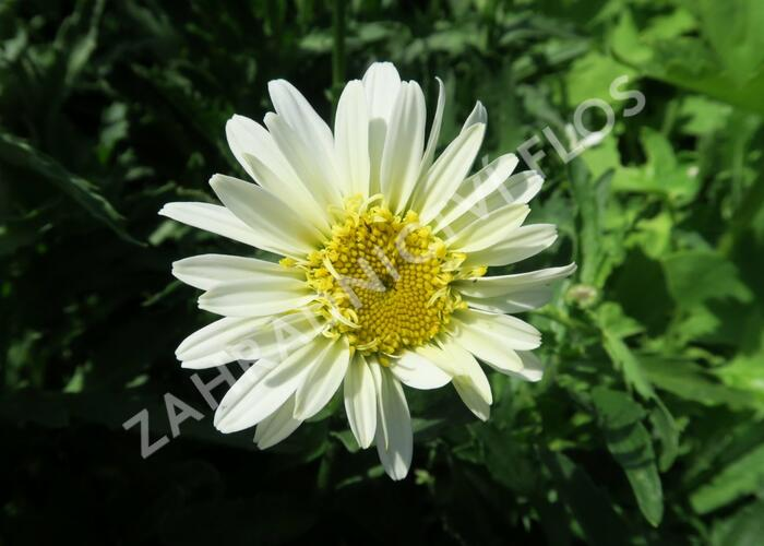 Kopretina největší 'Real Glory' - Leucanthemum maximum 'Real Glory'