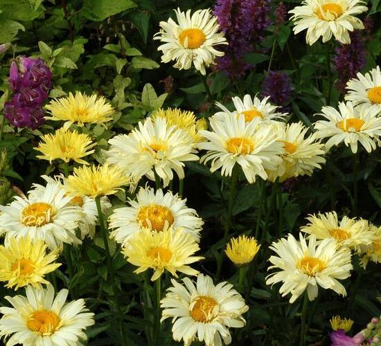 Kopretina největší 'Goldfinch' - Leucanthemum maximum 'Goldfinch'