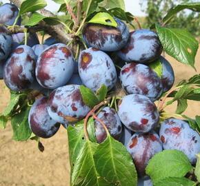Švestka - velmi pozdní 'Presenta' - Prunus domestica 'Presenta'