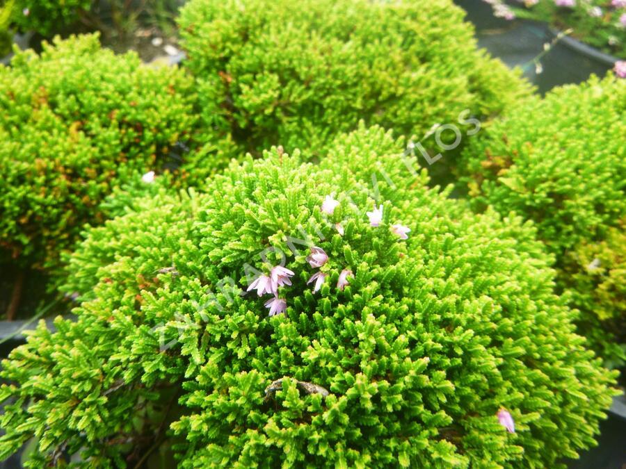 Vřes obecný 'Foxii Nana' - Calluna vulgaris 'Foxii Nana'