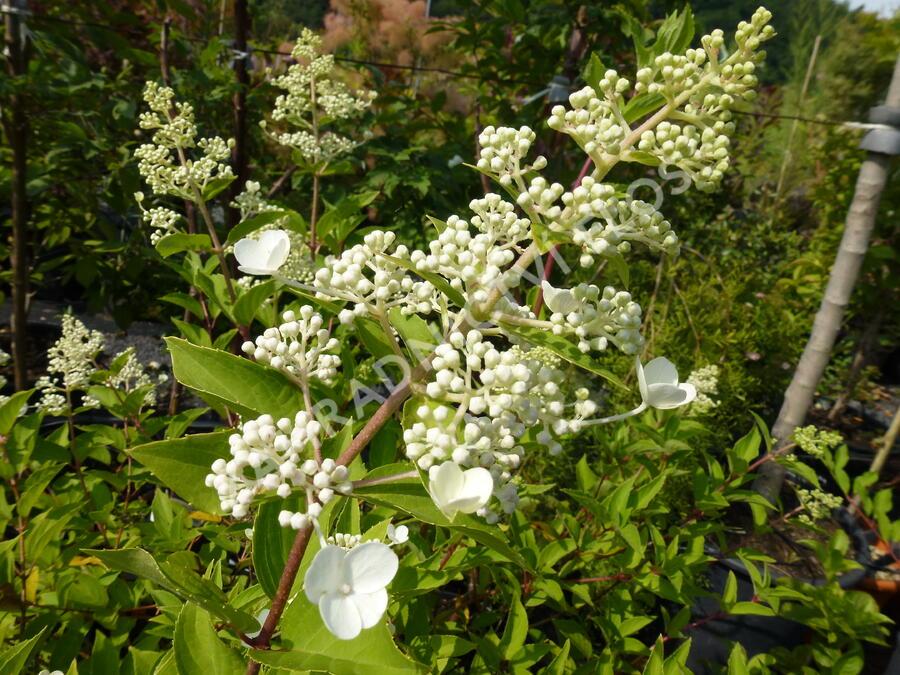Hortenzie latnatá - Hydrangea paniculata