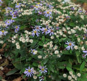 Japonská astra 'Nana Blue' - Kalimeris incisa 'Nana Blue'