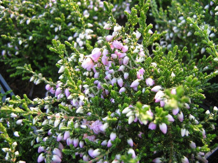 Vřes obecný 'Camla' - Calluna vulgaris 'Camla'
