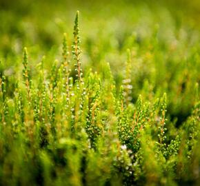 Vřes obecný 'Alicia' - Calluna vulgaris 'Alicia'
