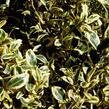 Zimostráz obecný 'Elegantissima' - Buxus sempervirens 'Elegantissima'