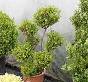 Zimostráz obecný 'Faulkner' - pompon - Buxus microphylla 'Faulkner' - pompon
