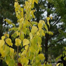 Bříza bělokorá 'Golden Cloud' - Betula pendula 'Golden Cloud'