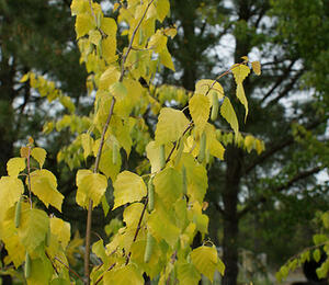 Bříza bělokorá 'Golden Cloud' - Betula pendula 'Golden Cloud'