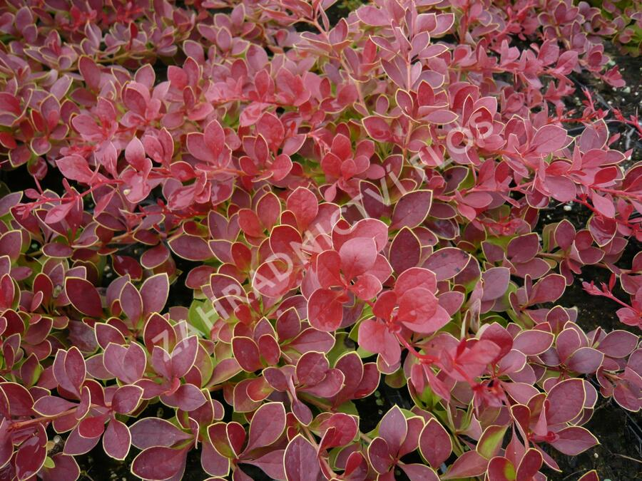 Dřišťál Thunbergův 'Red Carpet' - Berberis thunbergii 'Red Carpet'