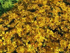Záplevák 'Septembergold' - Helenium 'Septembergold'