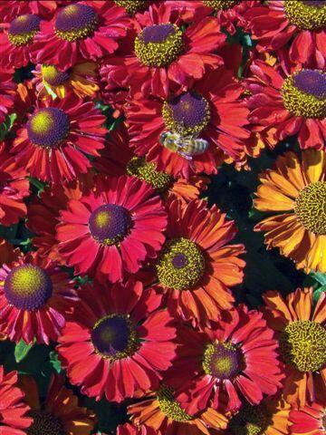 Záplevák podzimní 'Ruby Charm' - Helenium 'Ruby Charm'