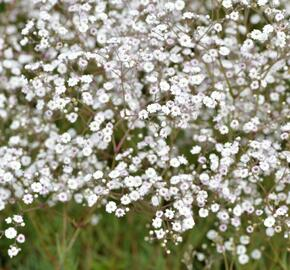 Šater latnatý 'Festival White' - Gypsophila paniculata 'Festival White'