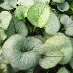 Pomněnkovec velkolistý 'Looking Glass' - Brunnera macrophylla 'Looking Glass'