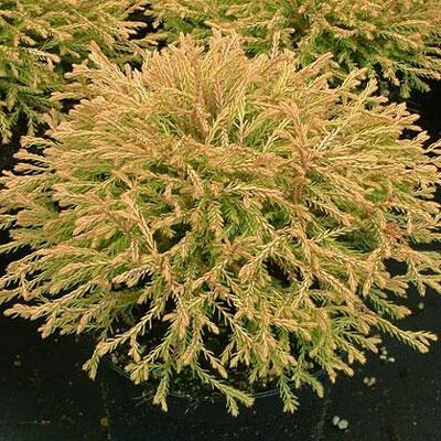 Zerav západní 'Golden Tuffet' - Thuja occidentalis 'Golden Tuffet'