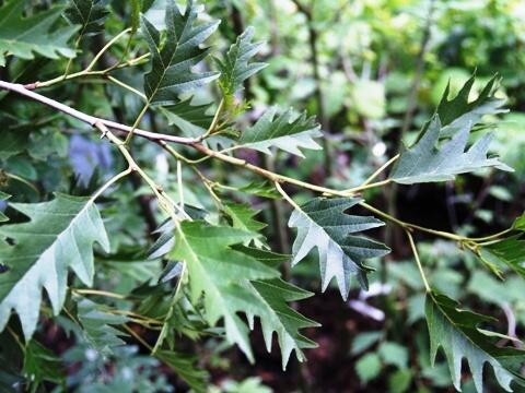 Olše lepkavá 'Laciniata' - Alnus glutinosa 'Laciniata'