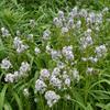 Modrá hvězda - Amsonia hubrichtii