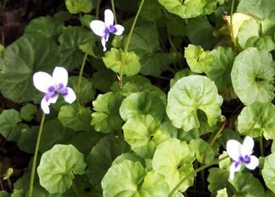 Violka břečťanová - Viola hederacea