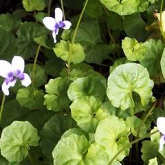 Violka australská, břečťanolistá - Viola hederacea