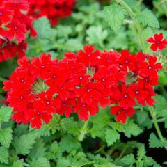 Verbena, sporýš 'Lanai Red' - Verbena hybrida 'Lanai Red'
