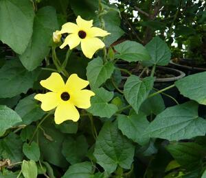 Smatavka, thunbergie křídlatá 'Yellow' - Thunbergia alata 'Yellow'