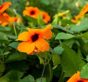 Smatavka, thunbergie křídlatá 'Orange Beauty' - Thunbergia alata 'Orange Beauty'