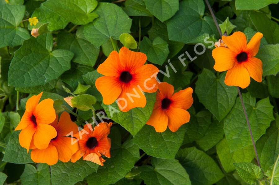 Smatavka, thunbergie křídlatá 'Orange Beauty' - Thunbergia alata 'Orange Beauty'