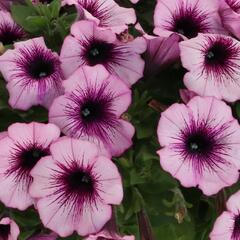 Petúnie 'Surprise Raspberry Gem' - Petunia hybrida 'Surprise Raspberry Gem'