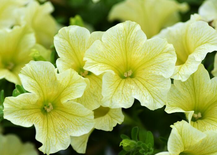 Petúnie 'Sweet Pleasure Yellow' - Petunia hybrida 'Sweet Pleasure Yellow'