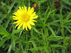 Oman mečolistý 'Compacta' - Inula ensifolia 'Compacta'