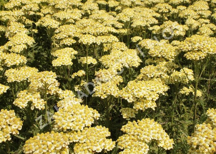 Řebříček obecný 'Summer Fruits Lemon' - Achillea millefolium 'Summer Fruits Lemon'