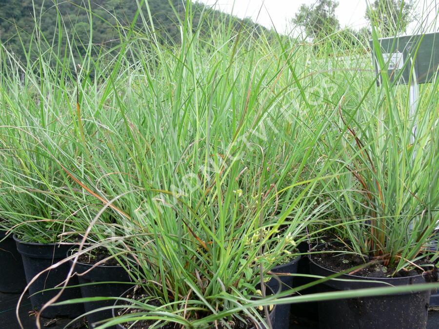 Ozdobnice čínská 'Rotsilber' - Miscanthus sinensis 'Rotsilber'