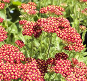 Řebříček obecný 'Desert Eve Red' - Achillea millefolium 'Desert Eve Red'