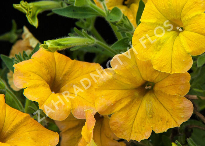 Petúnie 'Chameletunia Mango' - Petunia hybrida 'Chameletunia Mango'
