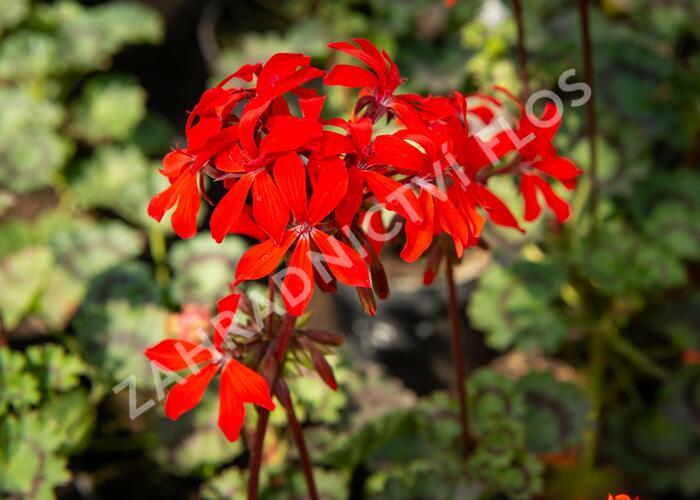 Muškát, pelargonie páskatá 'Miluška' - Pelargonium zonale 'Miluška'